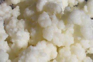 молочный гриб фото