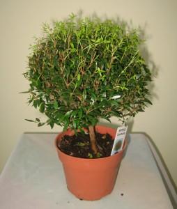 Миниатюра к статье Миртовое дерево: как ухаживать за миртом в домашних условиях