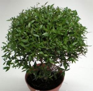 фото миртового дерева