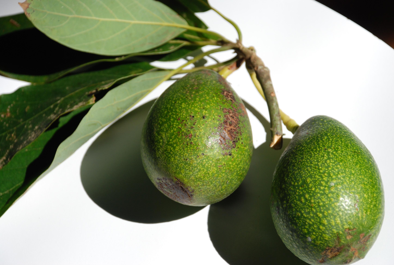 Миниатюра к статье Какие блюда можно приготовить из авокадо?
